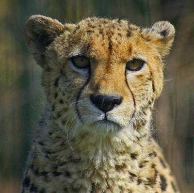 Murphy, the Cheetah