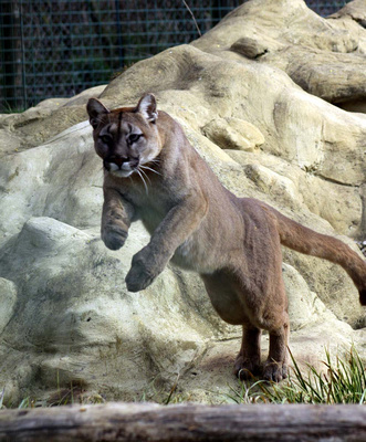 Leaping Puma