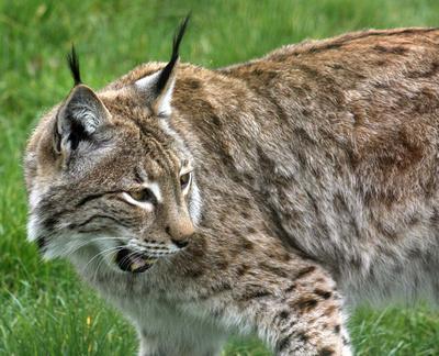 Petra Eurasian Lynx