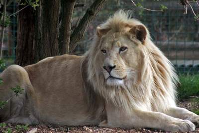 Themba the White Lion